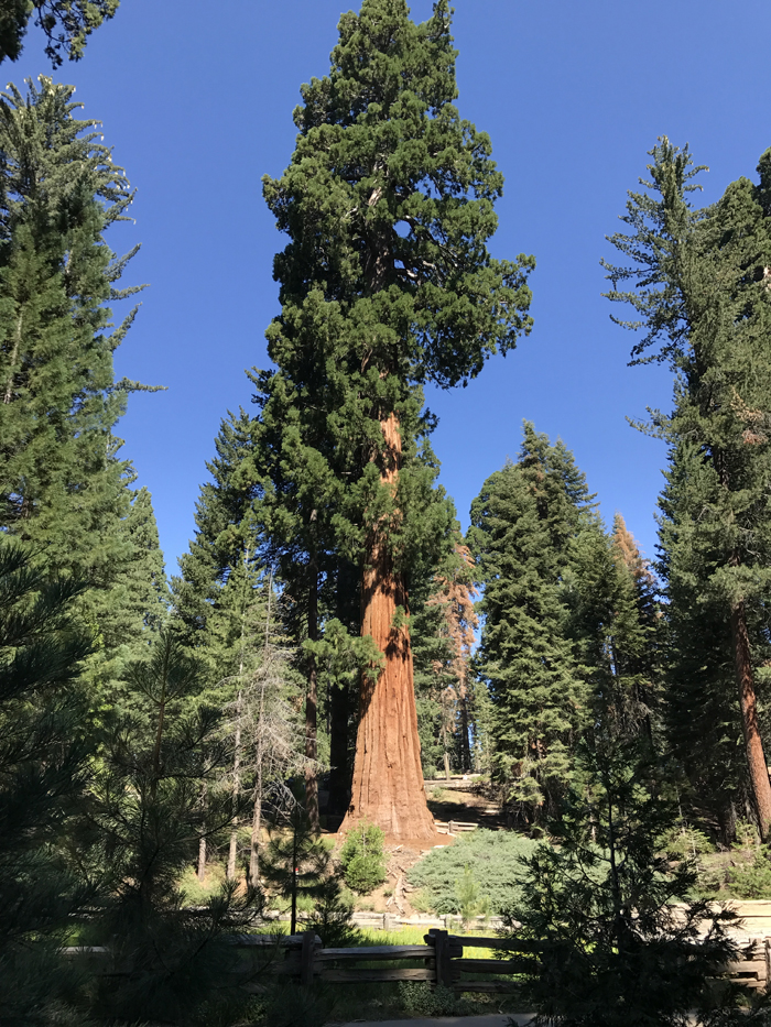 00.Sequoia_tree