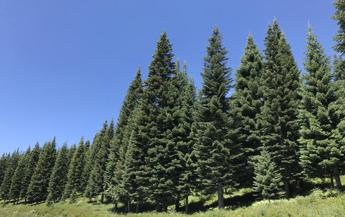 00.Shasta_trees