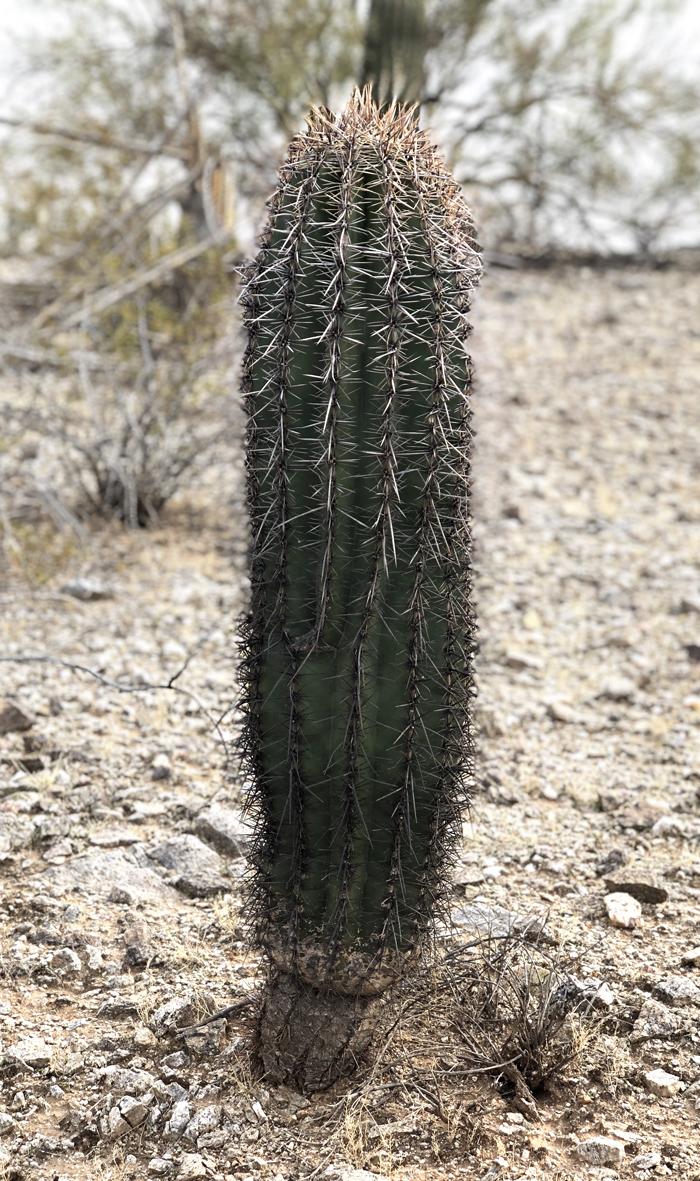 saguaro_01