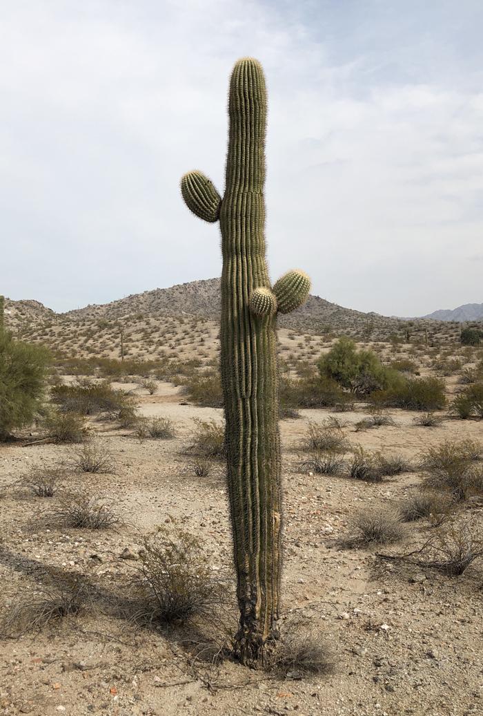saguaro_02