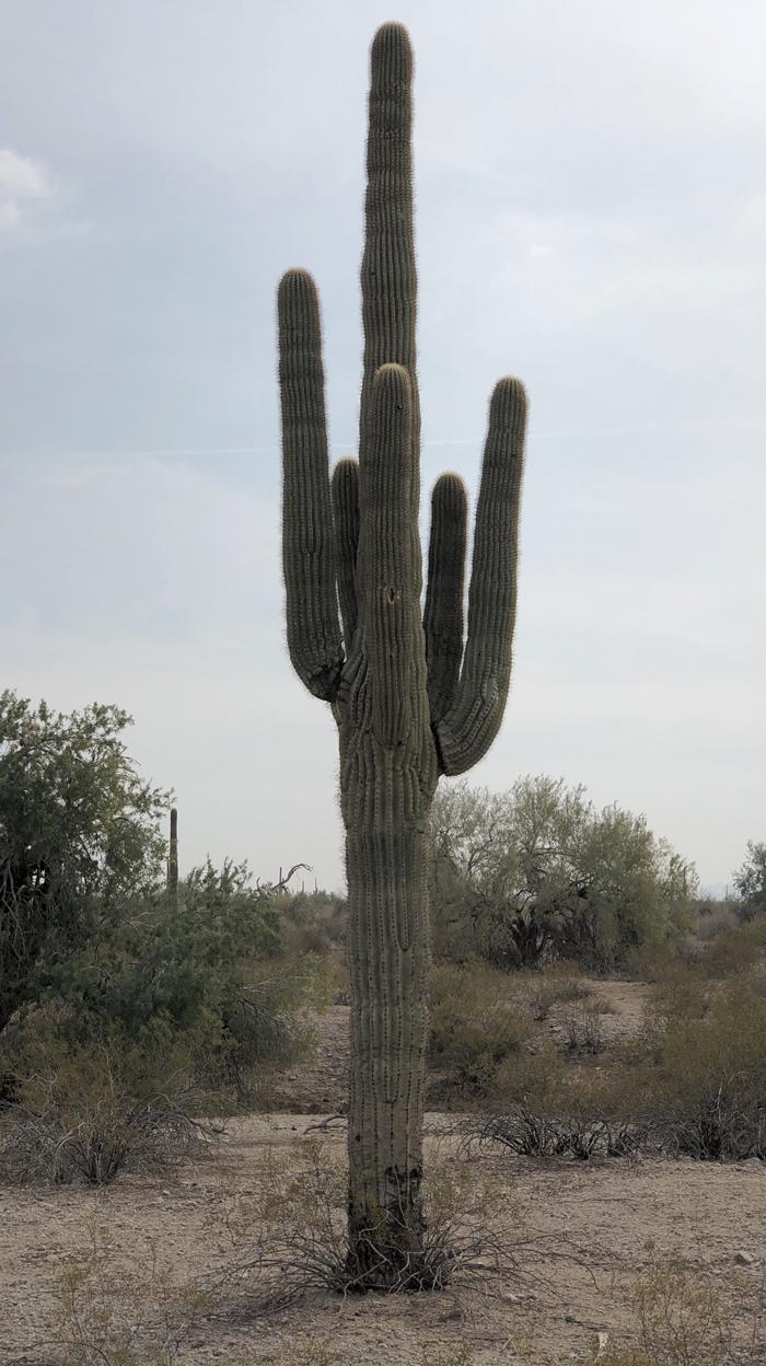 saguaro_03