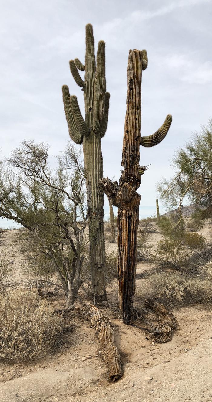 saguaro_05