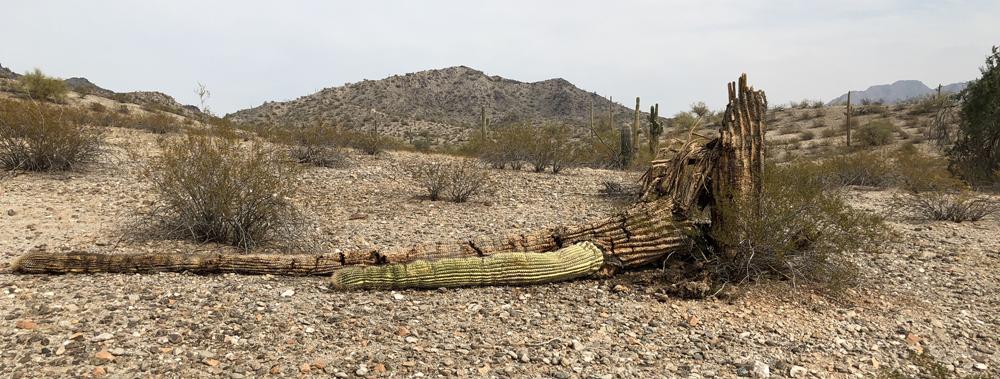 saguaro_06