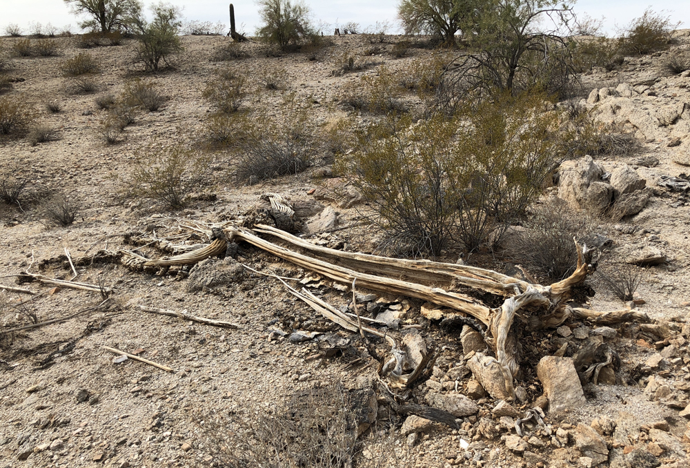 saguaro_08