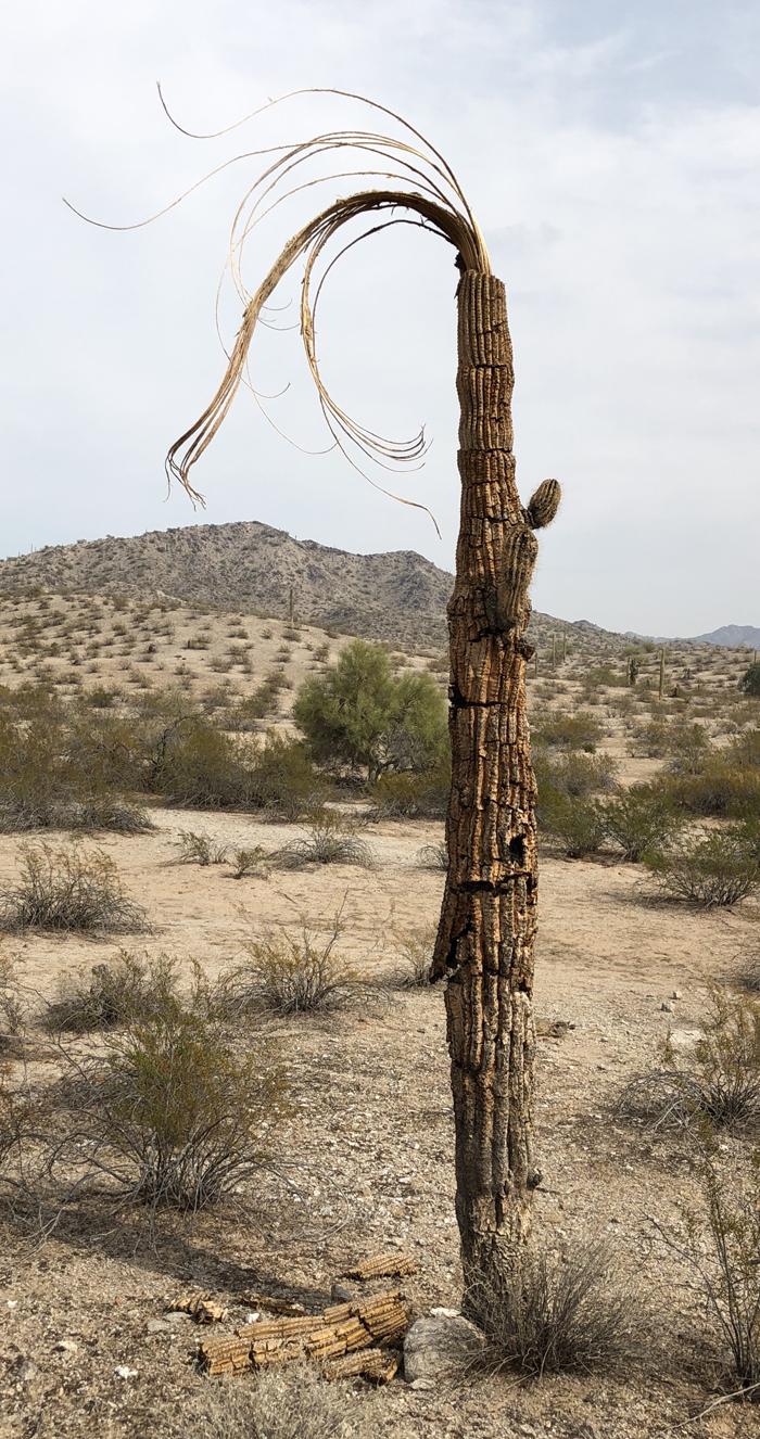 saguaro_11